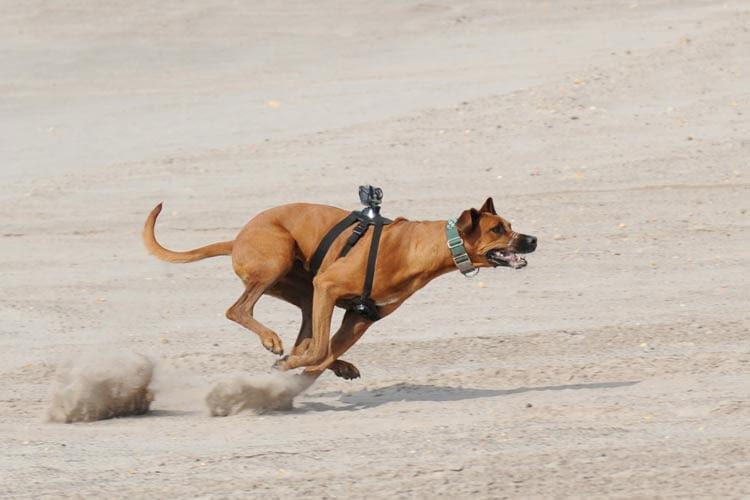 Manche Actioncams lassen sich auch am Hundegeschirr befestigen