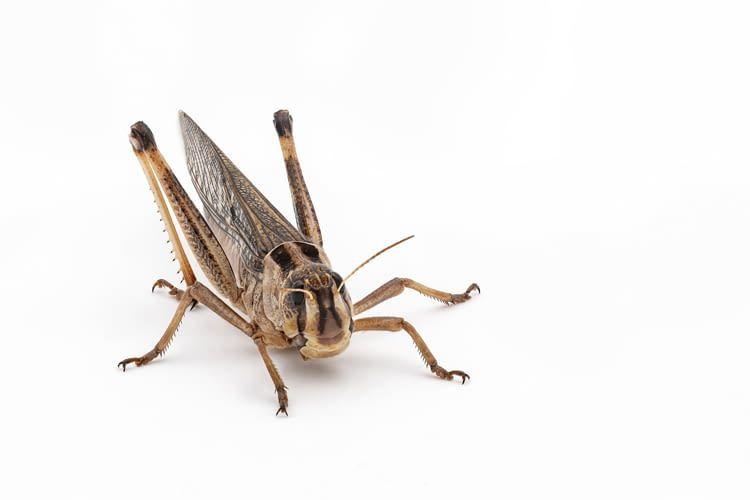 Mithilfe von Insekten als Futter kann die Menge an benötigten Antibiotika verringert werden