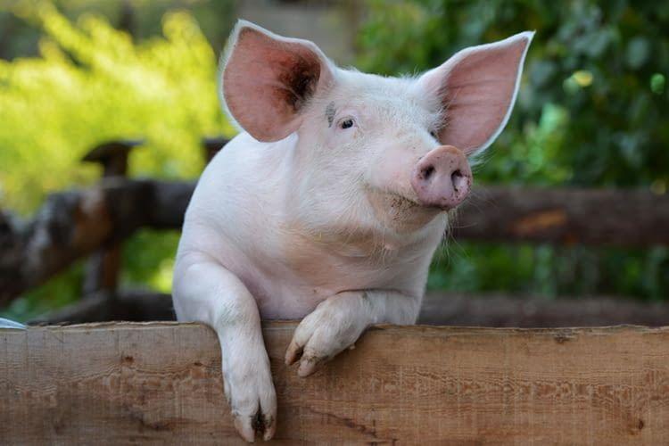 Wie nennt man ein weibliches Schwein? Der Kinder besuchen den Bauernhof-Skill vermittelt solche Fakten