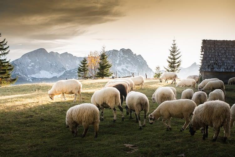 Mit dem Alptracker geht kein Schaf mehr verloren